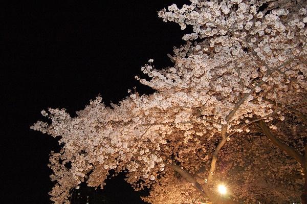 夜桜006