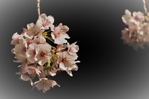 夜桜010