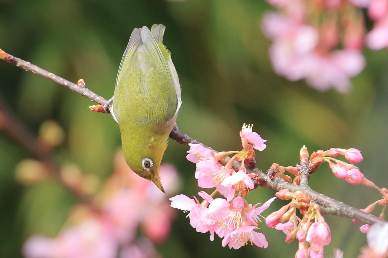 メジロ桜2