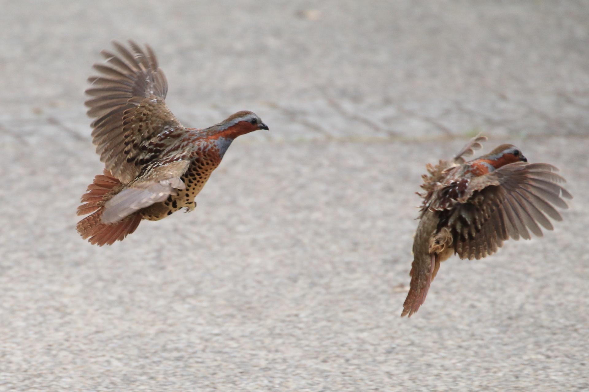 小綬鶏飛ぶ