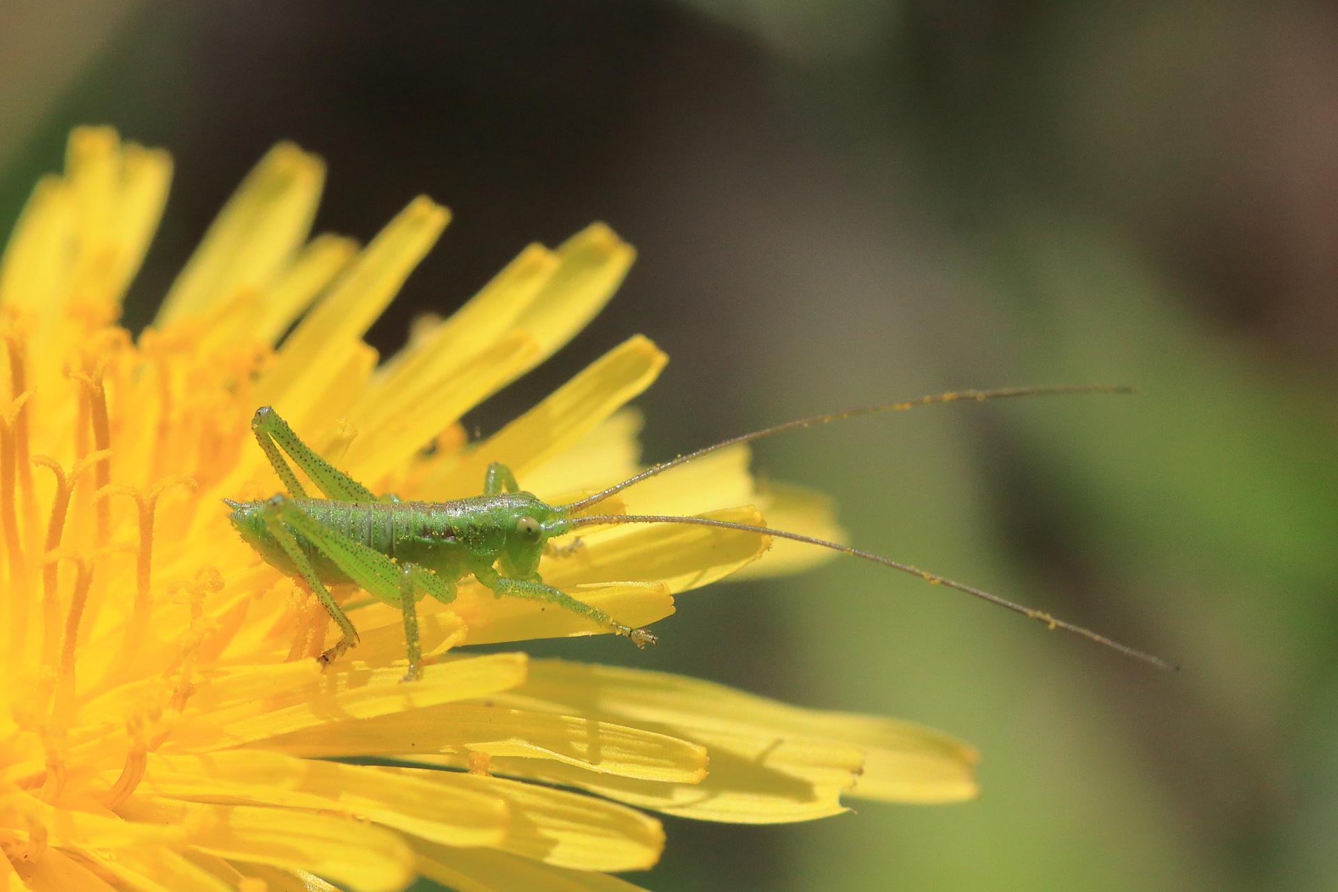 ヤブキリ幼虫