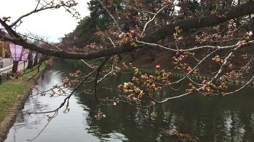 弘前桜4-17 (1)_500