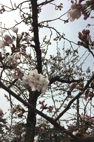 弘前桜4-17 (11)_500