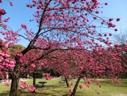 清澄庭園:自由広場の寒緋桜