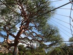 中の島:雪吊りの松