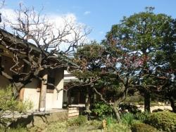 清澄庭園:紅梅・白梅