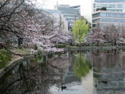 不忍池 桜