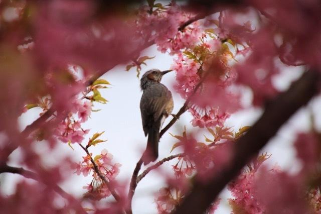 フレンチブルドッグ 河津桜 マリブ 3