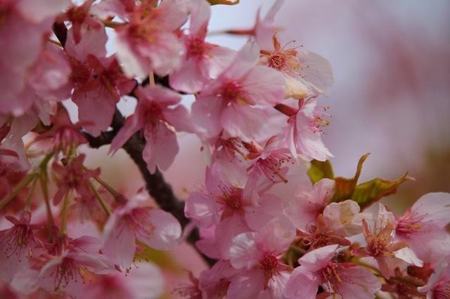 フレンチブルドッグ 河津桜 マリブ 4