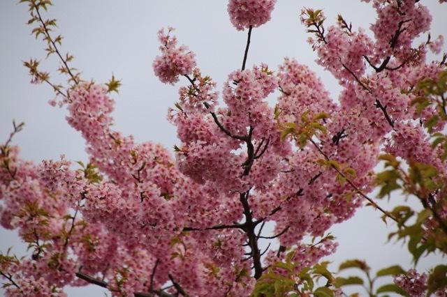 フレンチブルドッグ 河津桜 マリブ 2