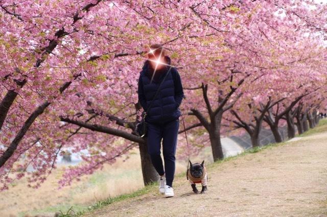 フレンチブルドッグ 河津桜 マリブ 5