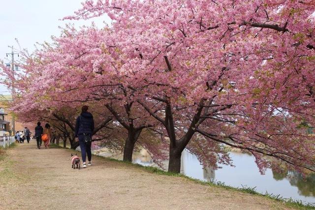 フレンチブルドッグ 河津桜 マリブ 9