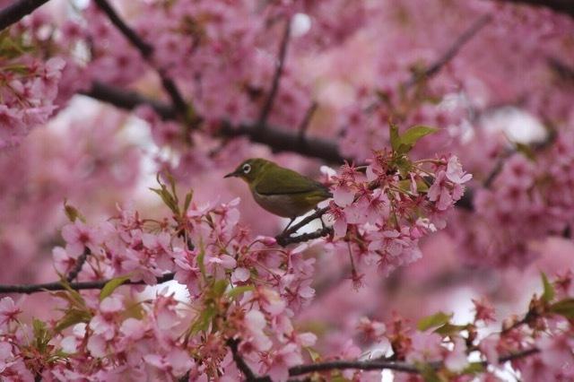 フレンチブルドッグ 河津桜 マリブ 12