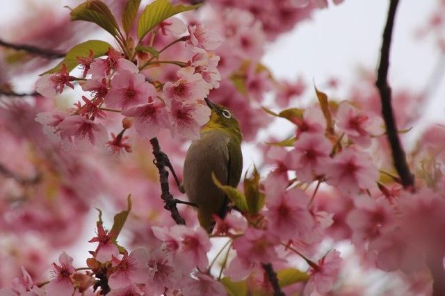 フレンチブルドッグ 河津桜 マリブ 11