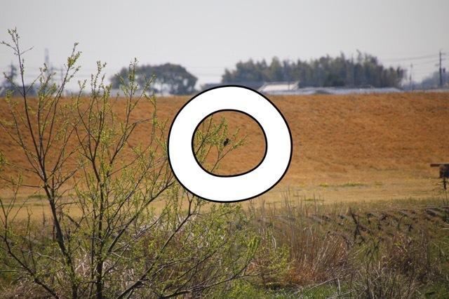フレンチブルドッグ カワセミの影 3