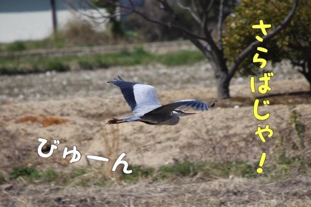 フレンチブルドッグ カワセミの影 5