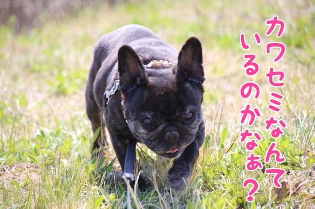 フレンチブルドッグ カワセミの影 6