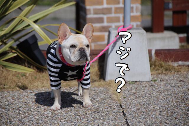 フレンチブルドッグ dog