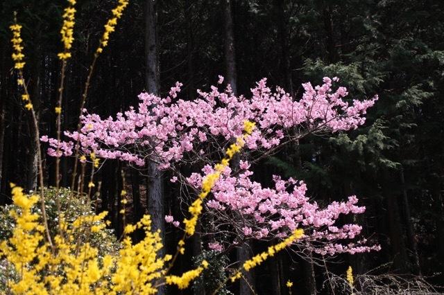枝垂れ花桃とオルカ 2