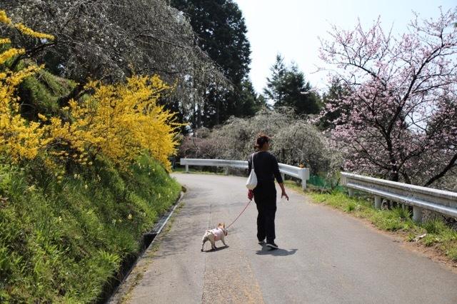 枝垂れ花桃とフレブル 1