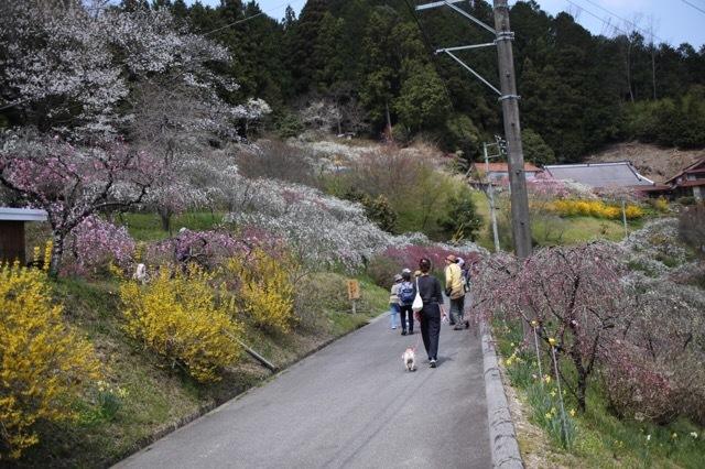 枝垂れ花桃とフレブル 2