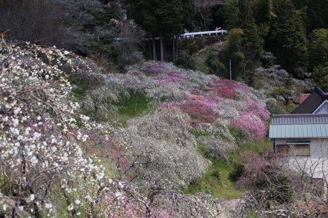 枝垂れ花桃とフレブル 3