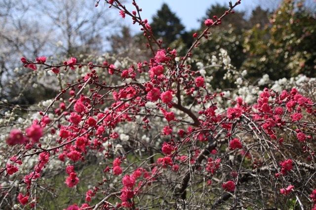 枝垂れ花桃とフレブル 4