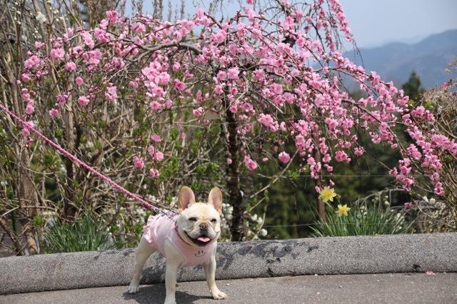 枝垂れ花桃とフレブル 8