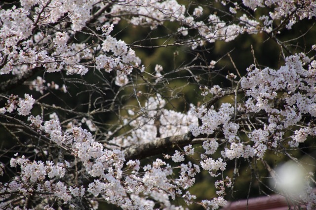 枝垂れ花桃とフレブル 9