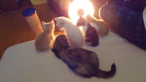 ハロゲンヒーターの前で温まるフェレットと猫