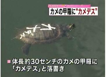 舞鶴城公園の堀で見つかった、甲羅に「カメデス」と落書きされたカメ