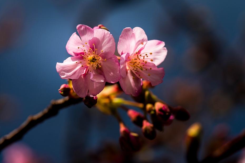 2017.02.22犀川の河津桜1