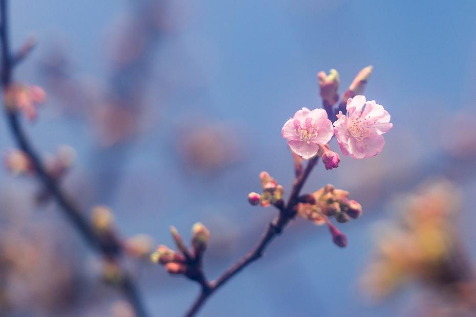 2017.02.22犀川の河津桜2