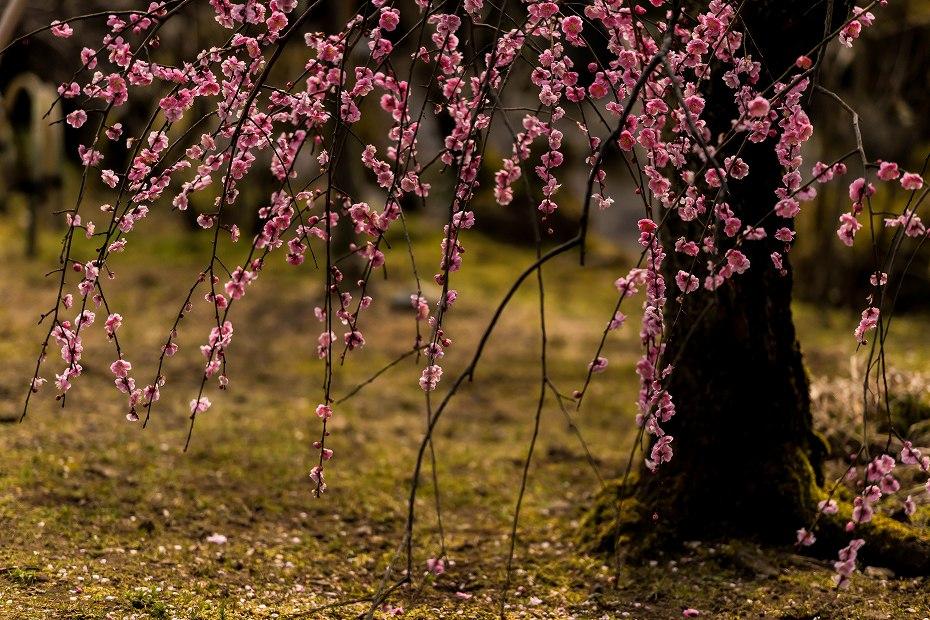 2017.03.18兼六園の梅林5