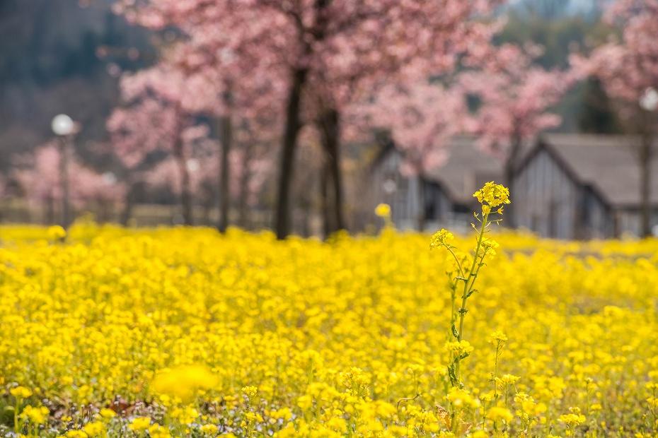 2017.03.29桜と菜の花10