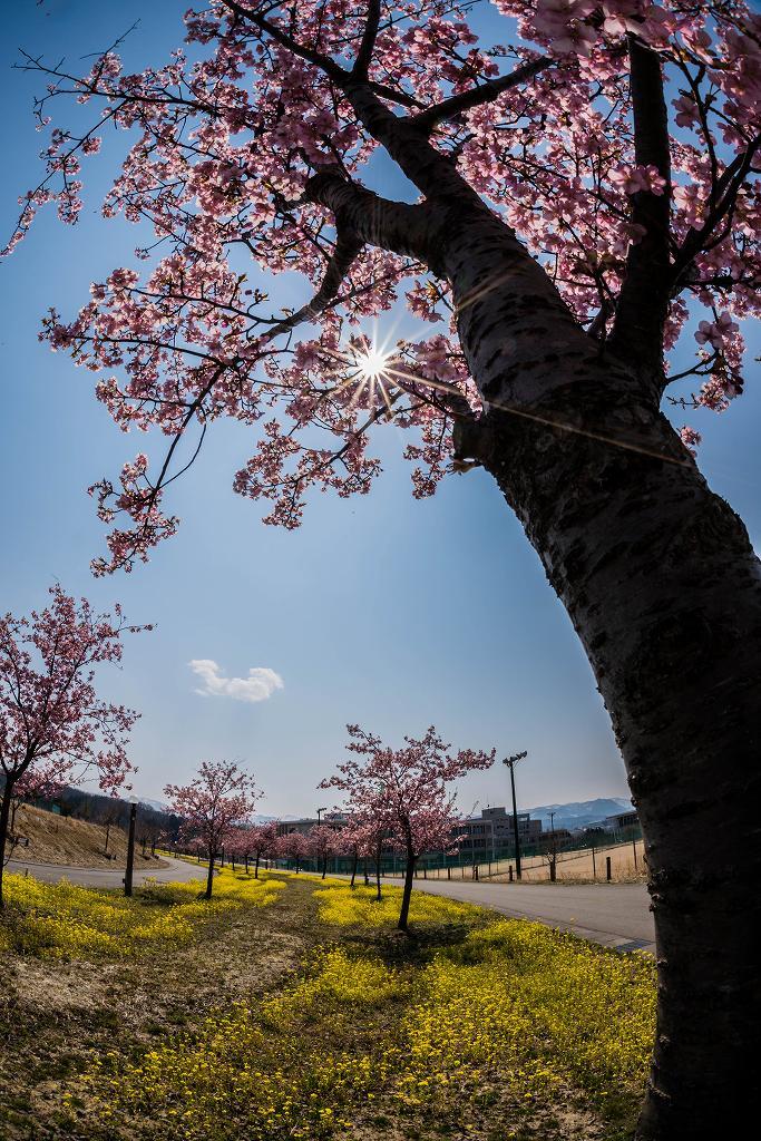 2017.03.29桜と菜の花8