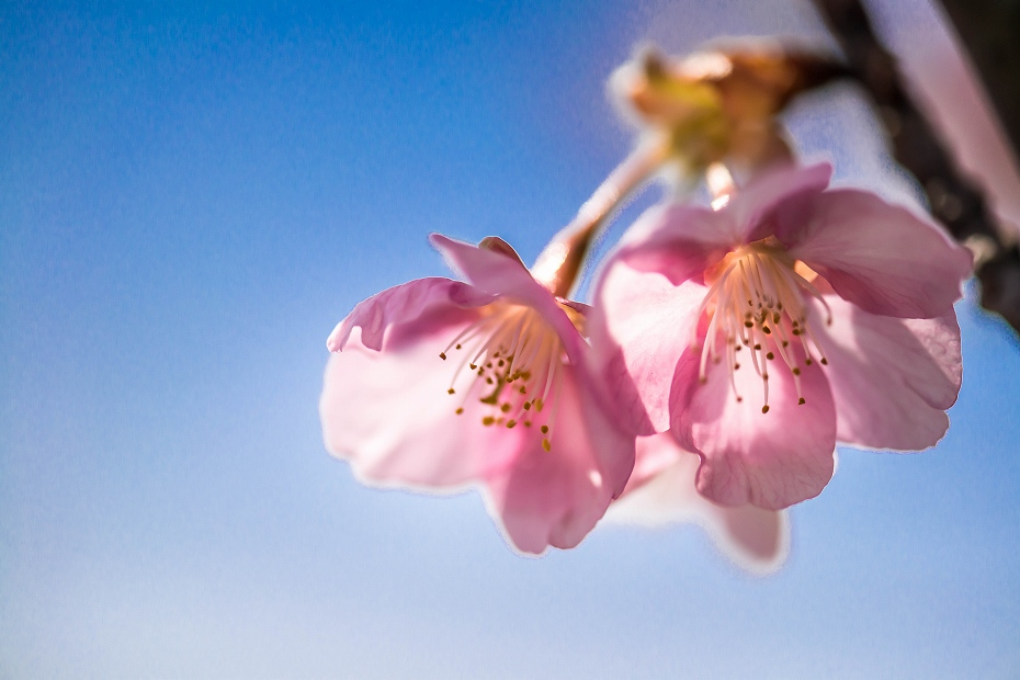 2017.03.29桜と菜の花9