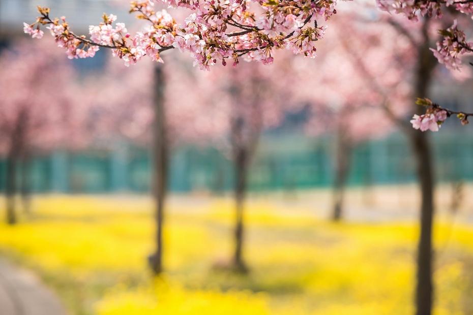 2017.03.29桜と菜の花7