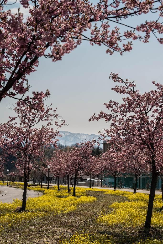 2017.03.29桜と菜の花3