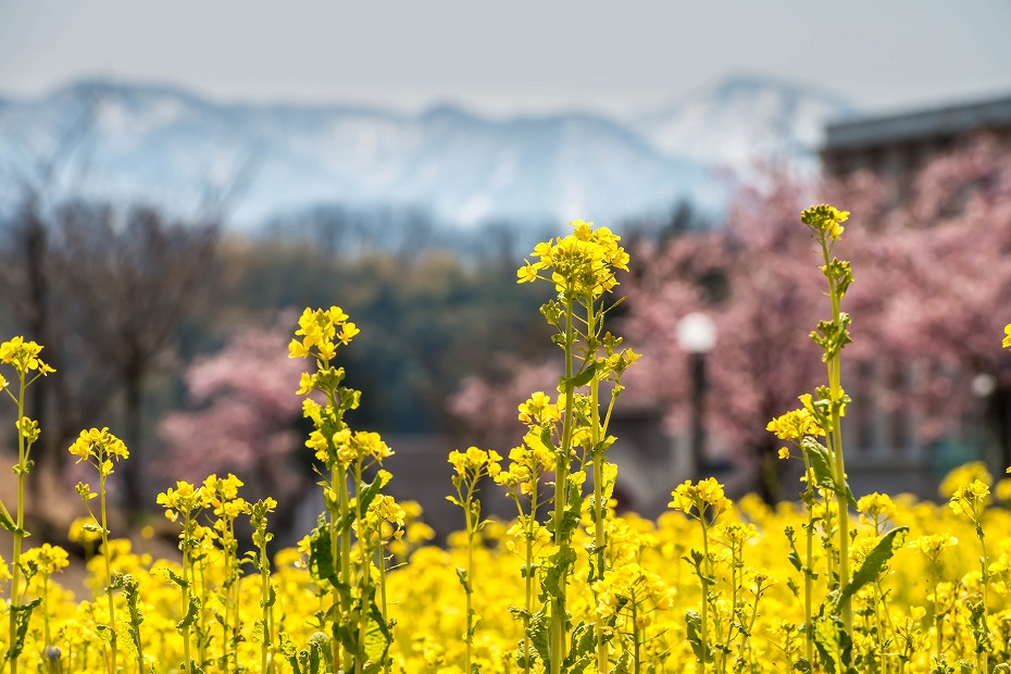 2017.03.29桜と菜の花2