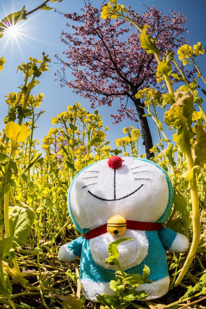 2017.03.29桜と菜の花5