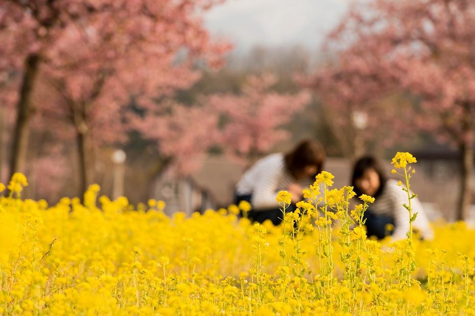 2017.03.29桜と菜の花6