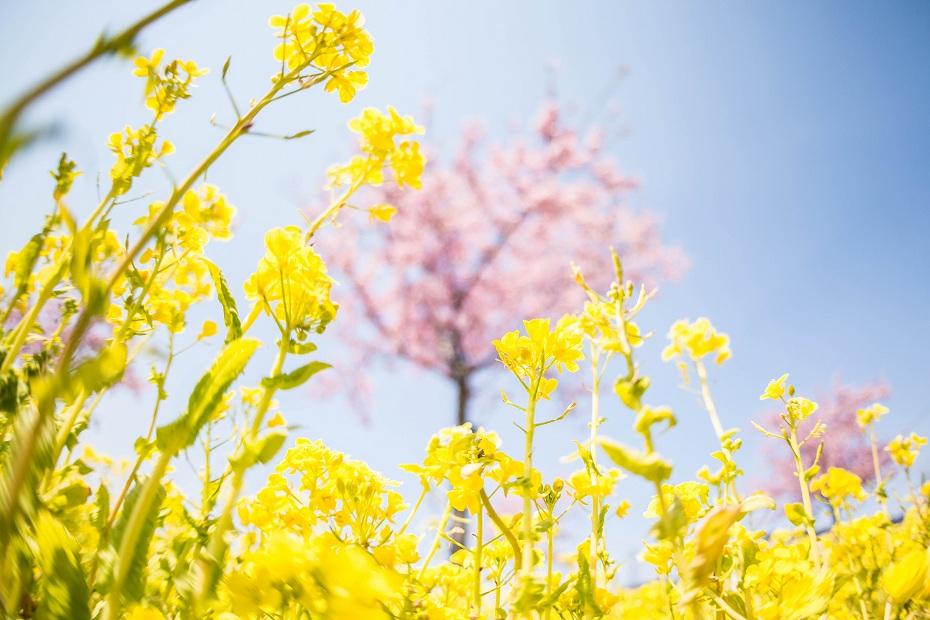 2017.03.29桜と菜の花4