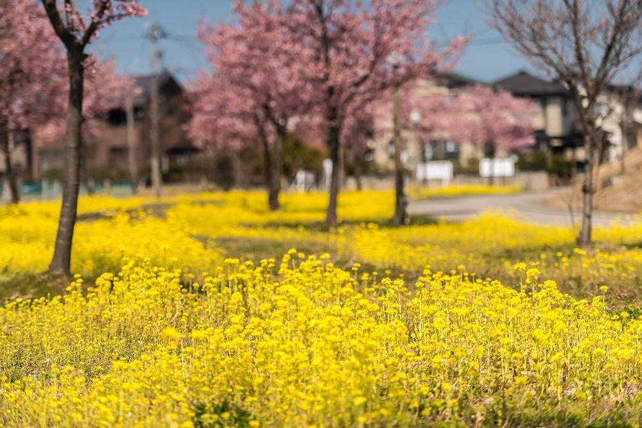 2017.03.29桜と菜の花1