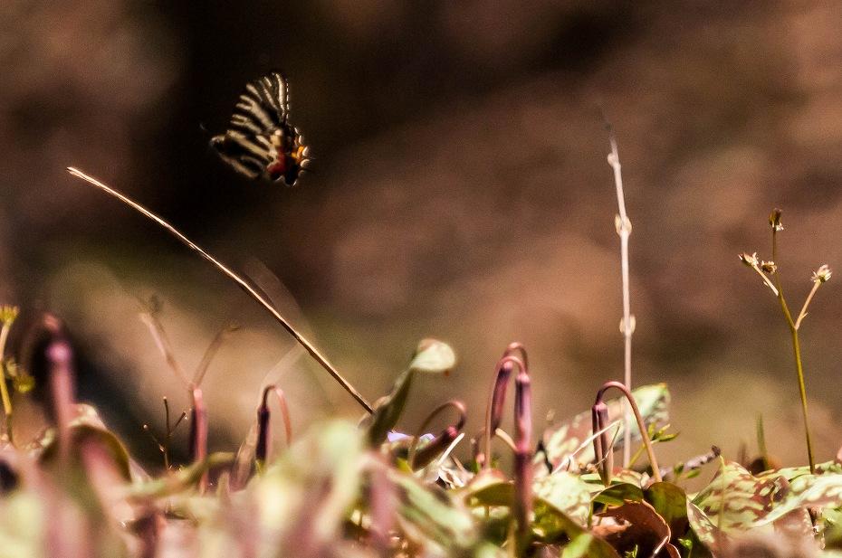 2017.04.04カタクリの蜜を吸うギフチョウ4