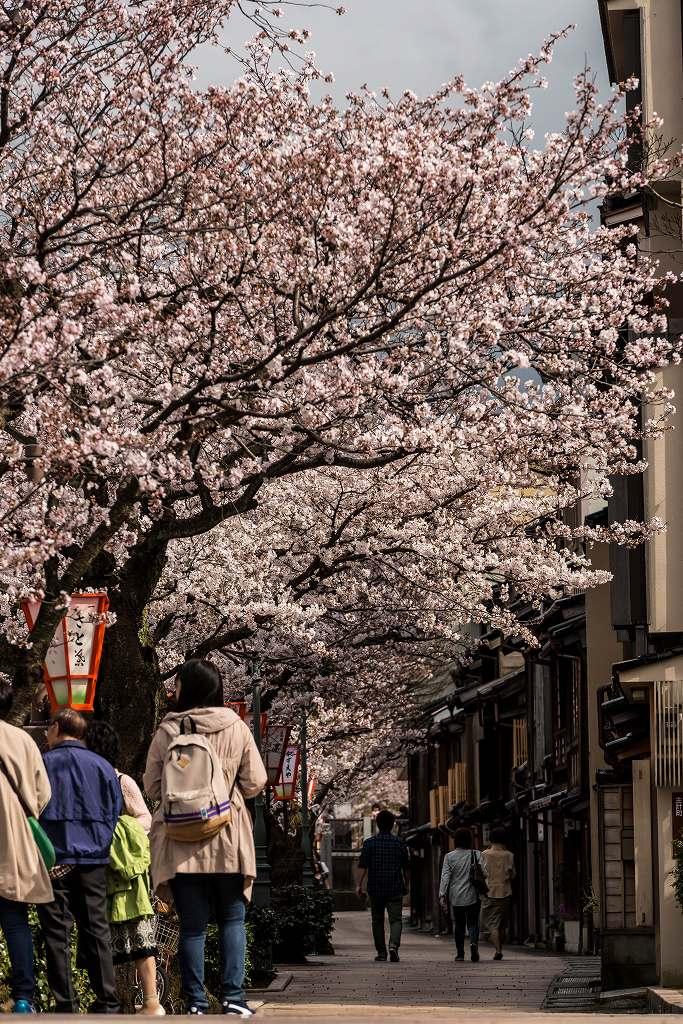 2017.04.07主計町の桜並木7
