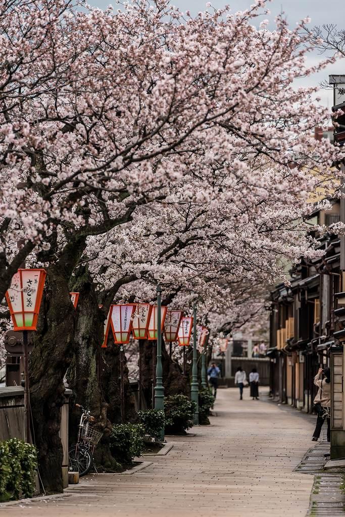 2017.04.07主計町の桜並木3