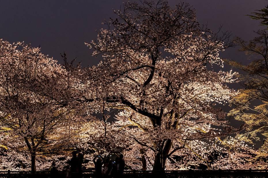 2017.04.08金沢城の桜15
