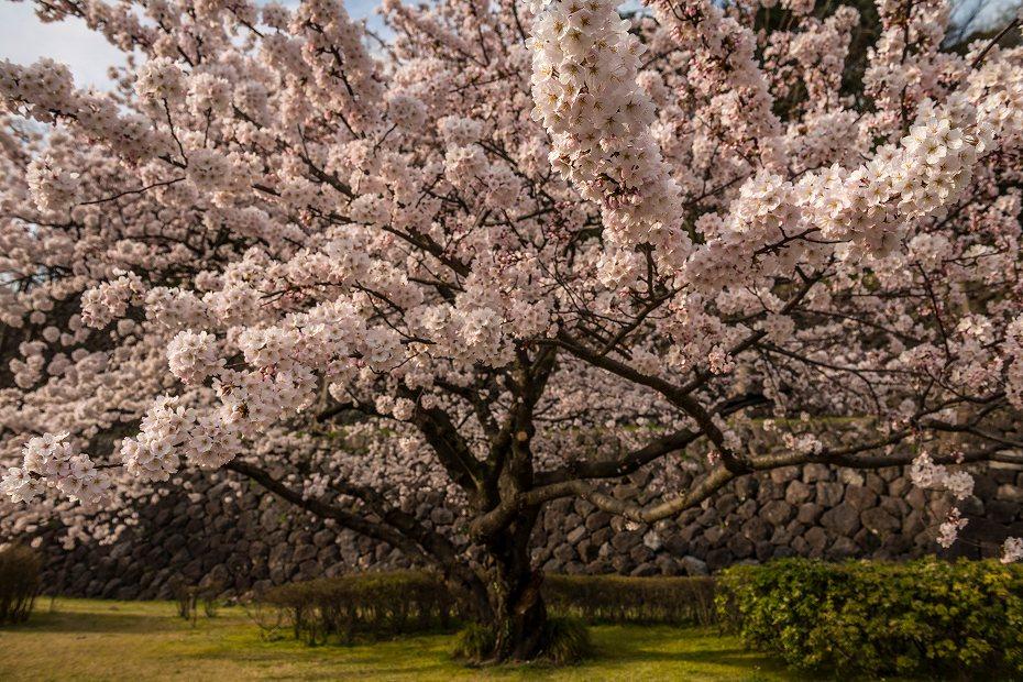 2017.04.08金沢城の桜14