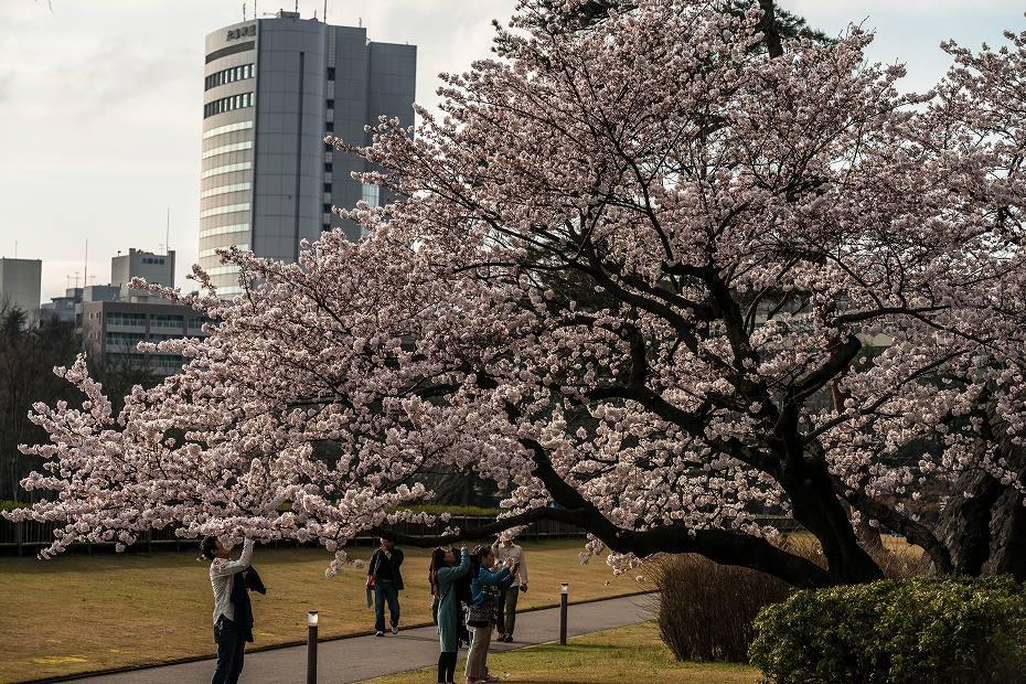2017.04.08金沢城の桜13